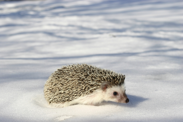 Hedgehog on the snow